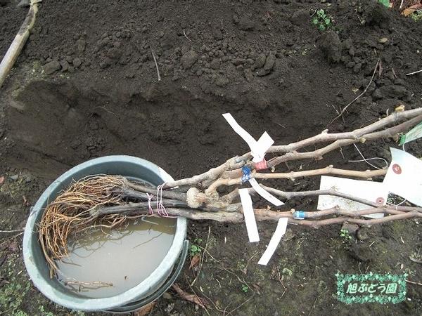 苗木仮植え: 旭ぶどう園