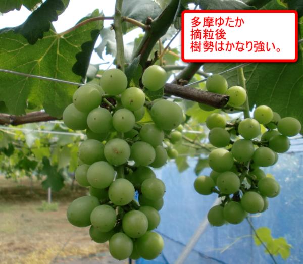 Tamayutaka_02
